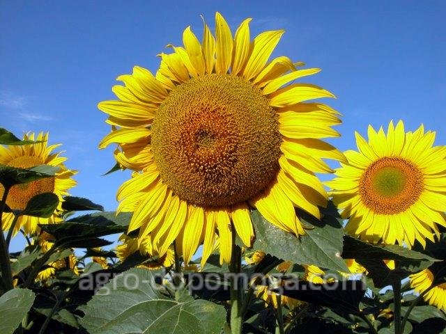 Семена подсолнечника Ясон (посевной материал подсолнуха)