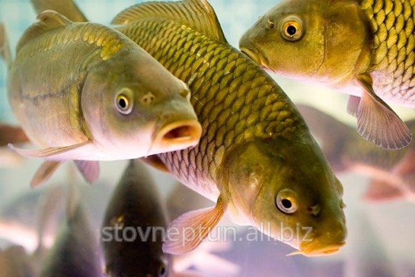 Купить Рыба речная