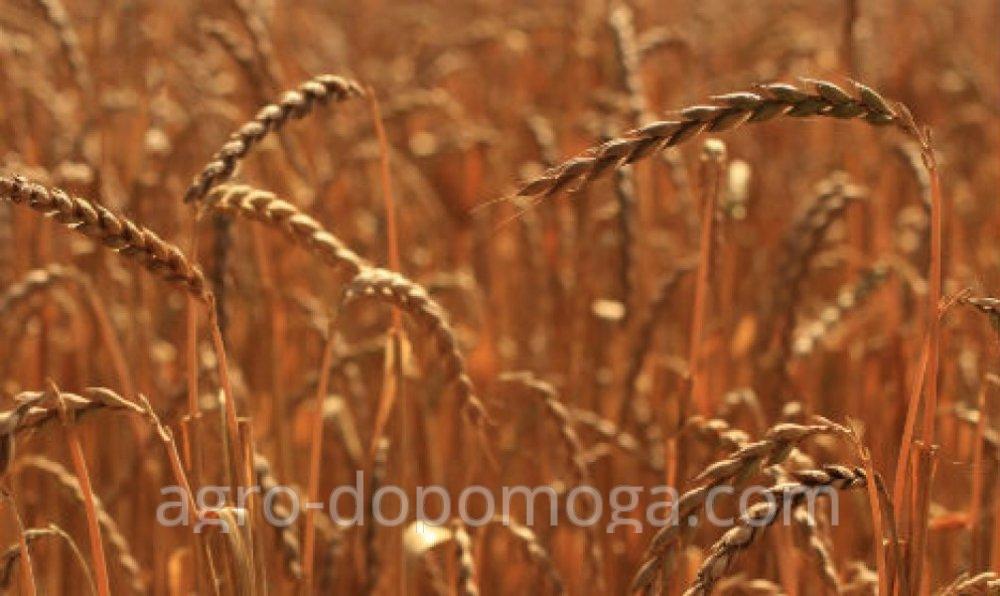 Семена пшеницы спельта Зоря Украины