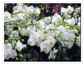 Купить Фаленопсис, орхидеи, оптом в розницу в Украине, Киев