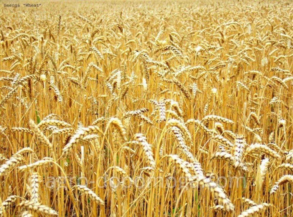 Пшеница яровая Элегия Мироновская