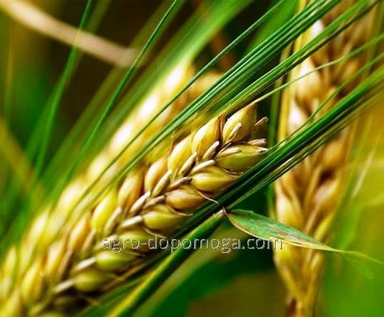 Семена ячменя ярового Гладис