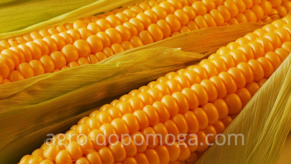 Семена кукурузы Манифик (посевной материал)