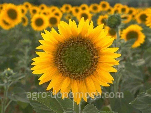 Семена подсолнечника гибрид Аркансель (под Экспресс Гранстар)