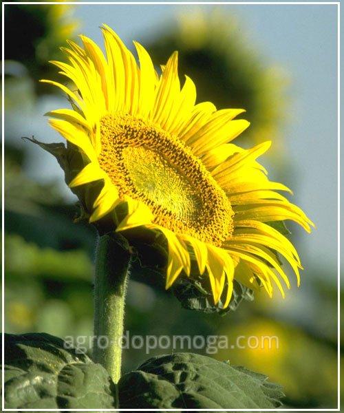 Семена подсолнуха Солтан  (под Гранстар, Экспресс) / посевной материал подсолнух