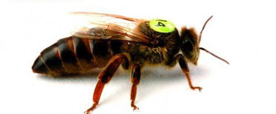 Купить Матки пчелиные БАКФАСТ (В21,B32) КАРНИКА (Peschetz, Troiseck) на 2016р