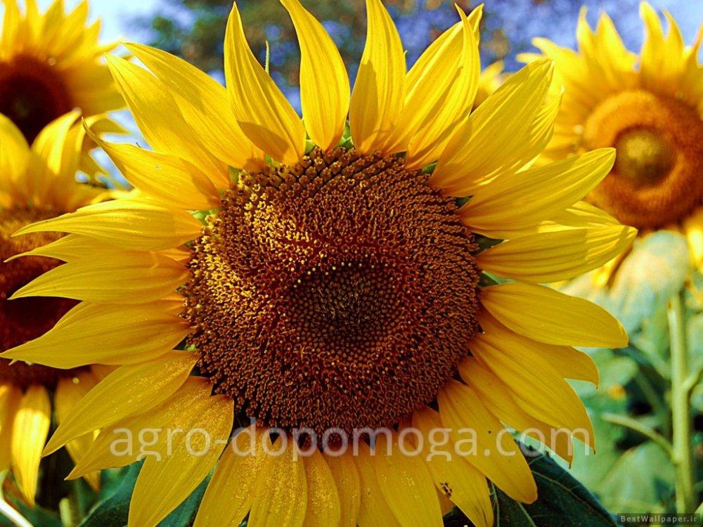 Sunflower seeds Evralis Amis