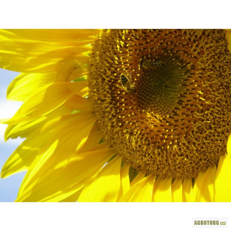 Семена подсолнечника Евралис Петуния