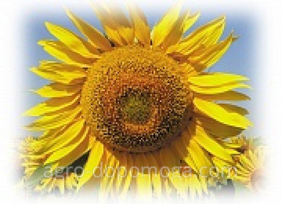 Семена подсолнечника Евралис Биба (насіння соняшника Євраліс Біба)