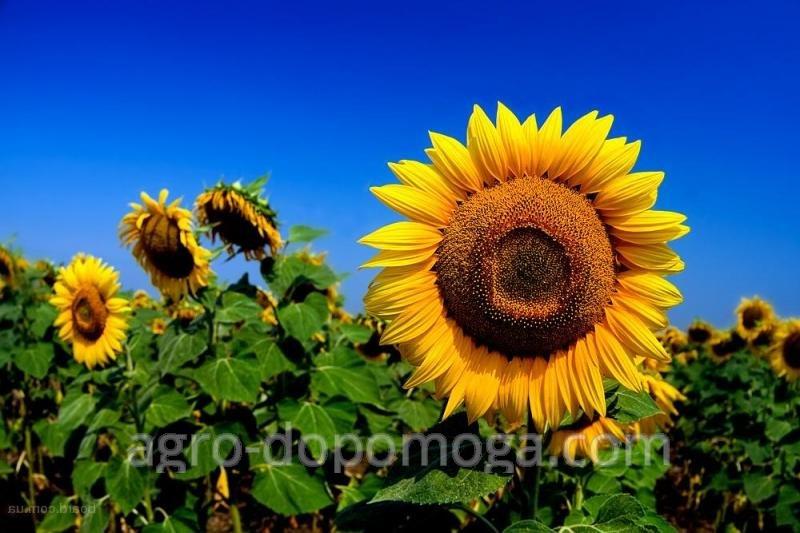 Семена подсолнечника Евралис Баяно