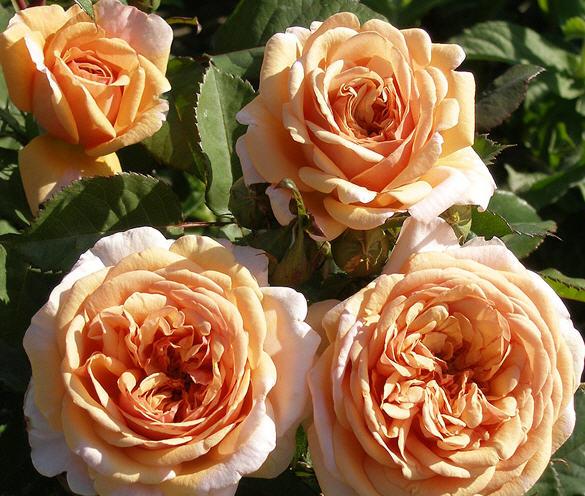 Розы остинки купить купить ландыши цветы vbulletin