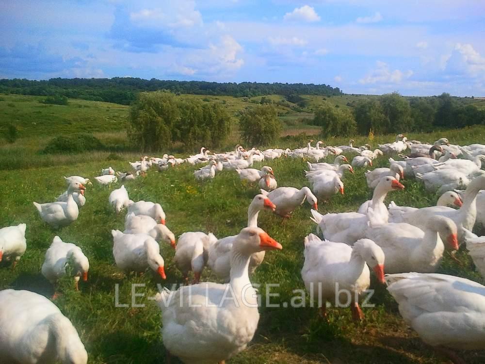 Купить Гуси домашние, белые гусиные перья Харьков