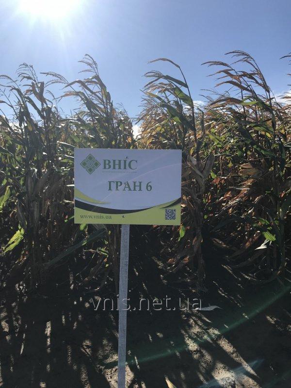 Семена кукурузы Гран 6 (ФАО 300)