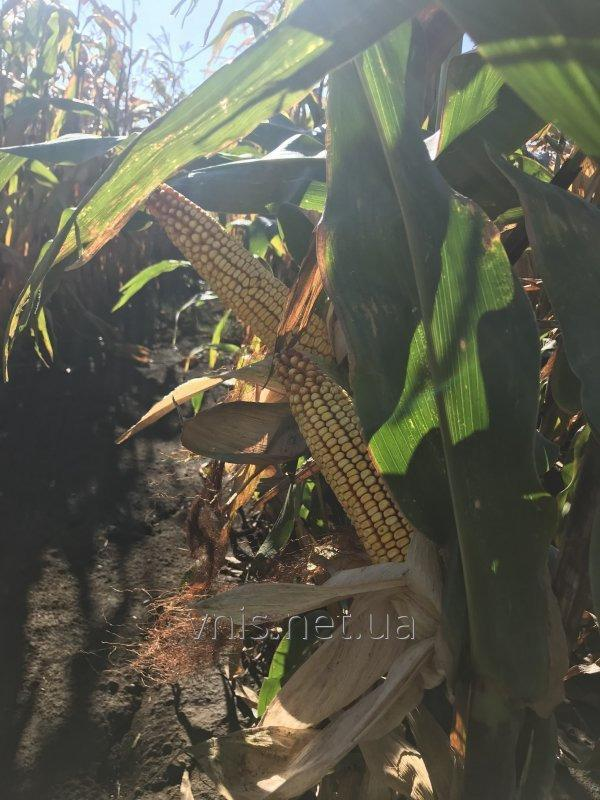 Семена кукурузы ВН 6763 (ФАО 320)