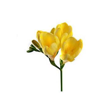 Купить цветы фрезии в киеве доставка цветов презентсити москва