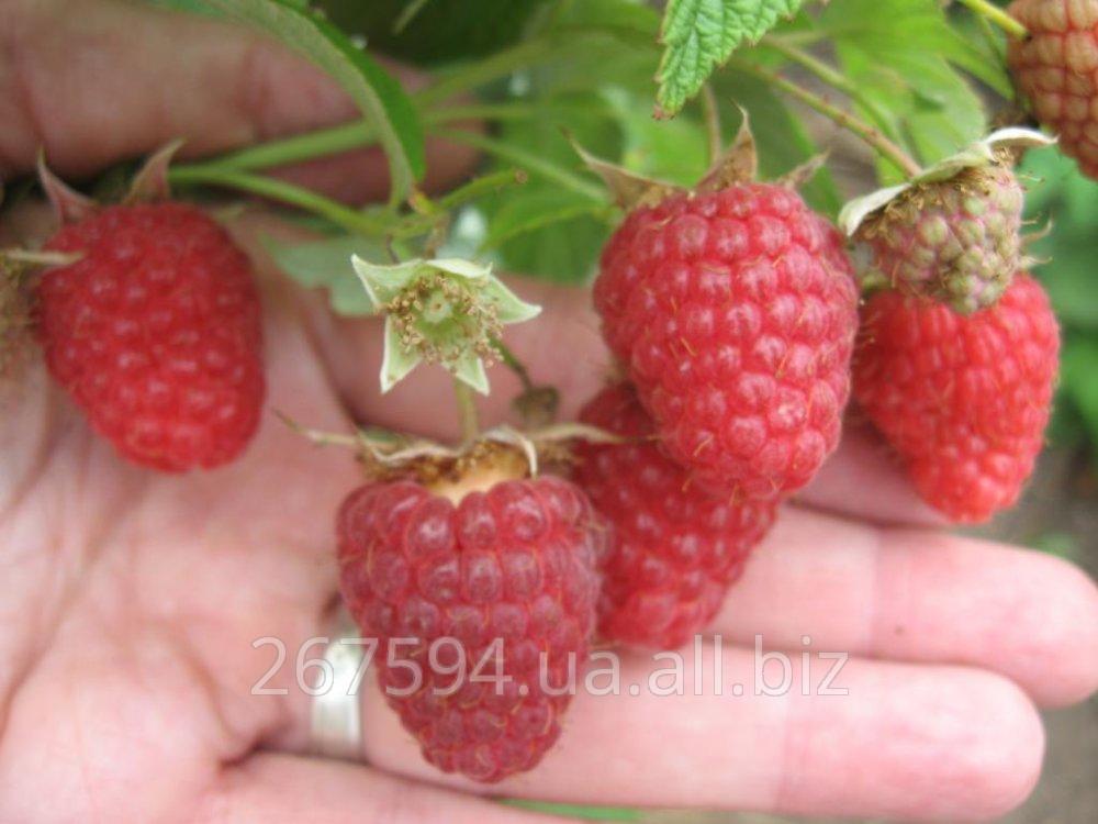 Купить Саженцы малины Руби