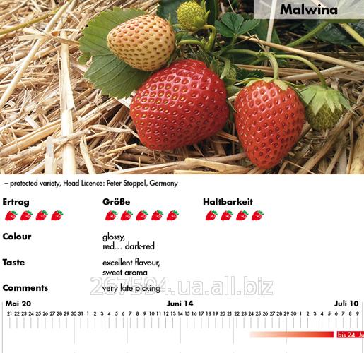 Купить Саженцы клубники МАЛЬВИНА (MALWINA)