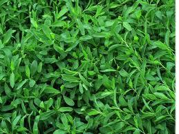 Buy Herbs of the mountaineer bird's, ninety-kn