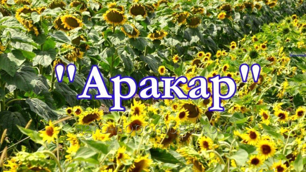 Семена подсолнечника Аракар (под Евролайтнинг)