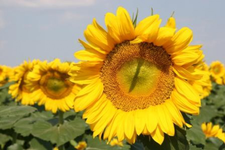 Семена подсолнуха Фрагмент (под Евролайтнинг)
