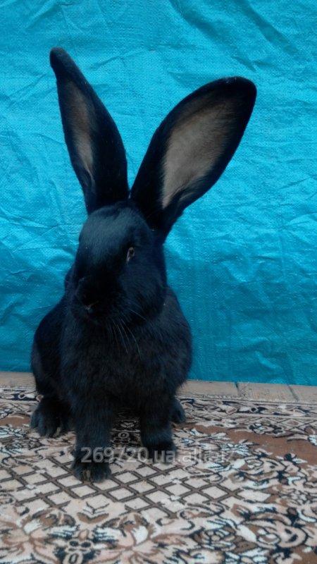 Купить Кролики Ризена, Обера, Фландр