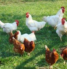 Купить Курица-бройлер 1 категории, 9-ка