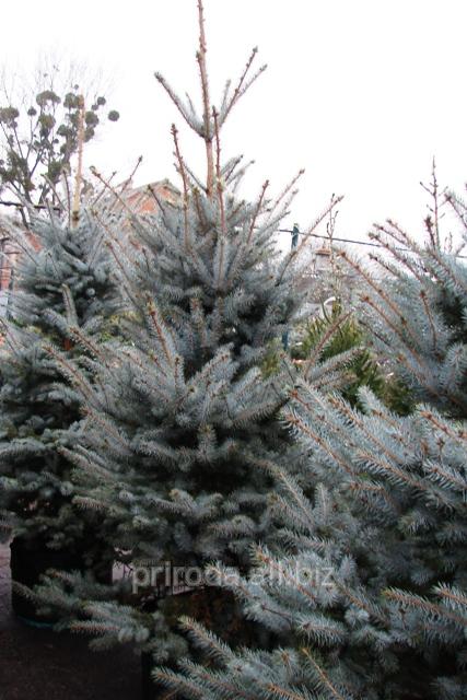 Fir Tree Blue Edis Picea Pungens Edith Of 200 300 Cm
