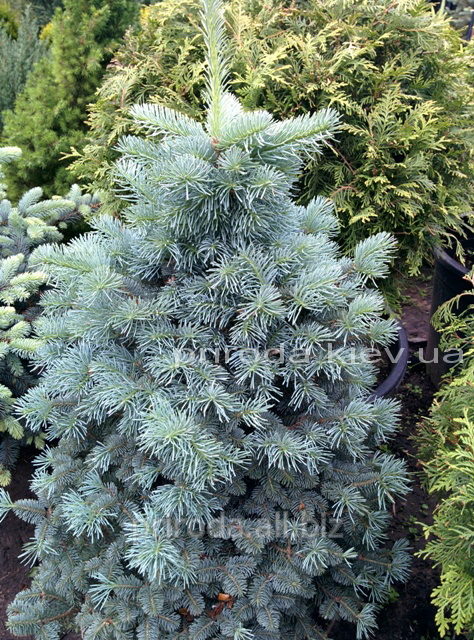 Fir Mountain Compact Of Abies Lasiocarpa Compacta Of 90 100 Cm Buy