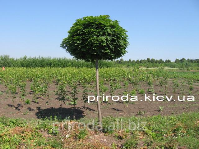 Купить Клен остролистный Глобозум на штамбе Acer platanoides Globosum Ра 170см