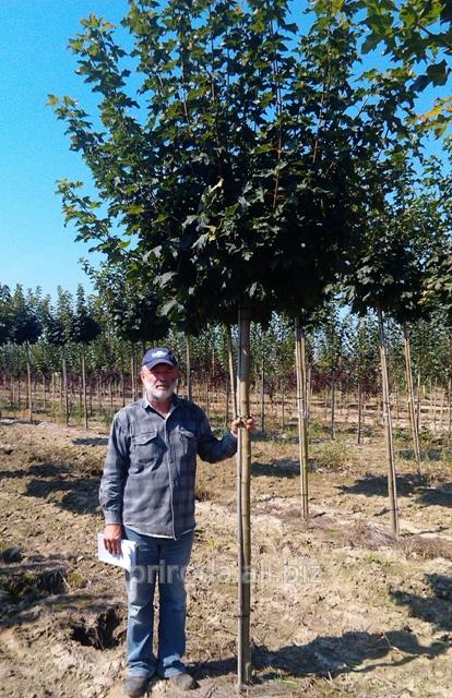 Купить Клен остролистный Глобозум на штамбе Acer platanoides Globosum Pa 220-240см