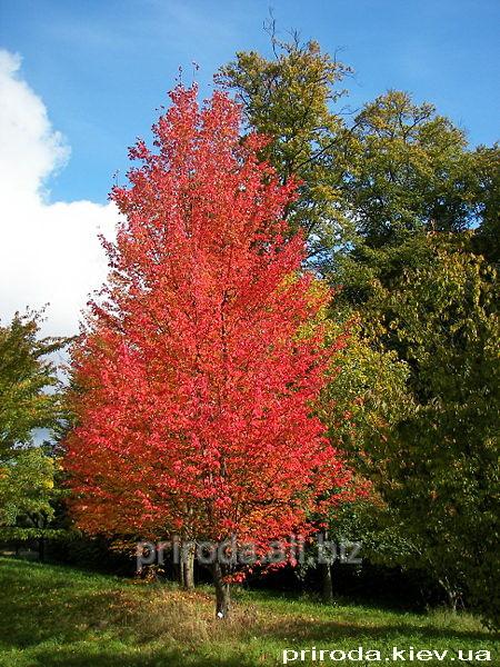 Купить Клен красный Acer rubrum 250 - 300 см