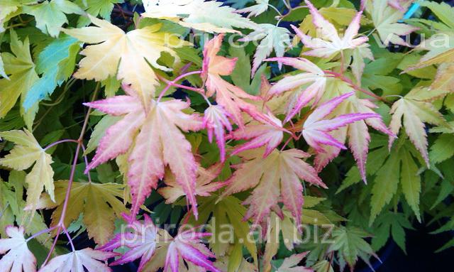 Купить Клён японский дланелистный Acer palmatum Orange Dream 100 - 120 см