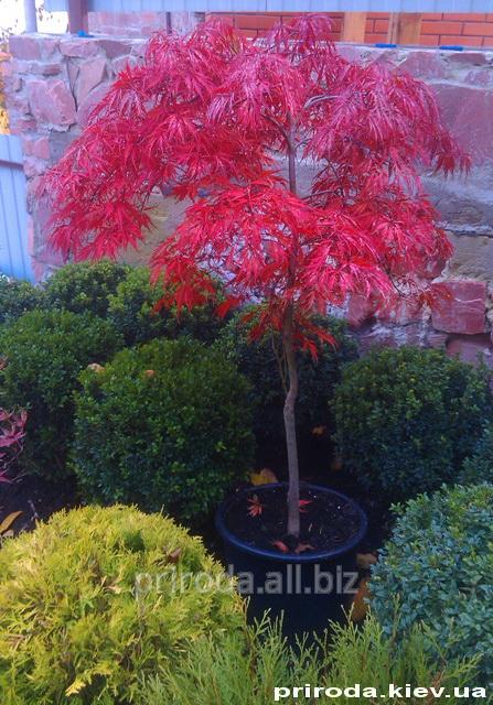 Купить Клён японский дланелистный Acer palmatum Tamukeyama Viridis 50 - 70 см