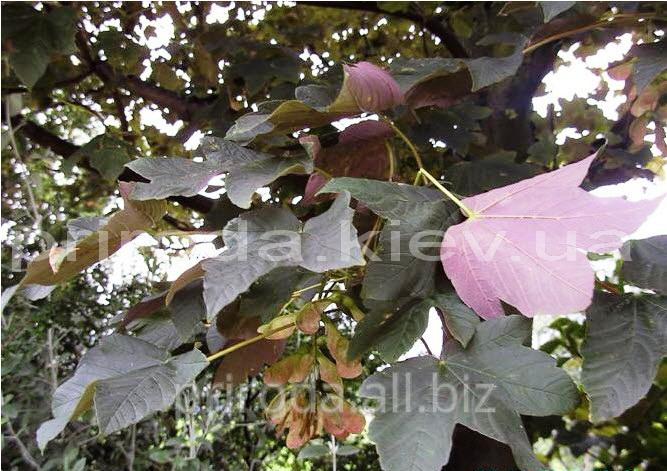 Купить Клён краснолистный псевдоплатановидний Acer pseudoplatanus Atropurpureum 300 - 350 см