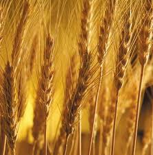 Купить Продажа зерна