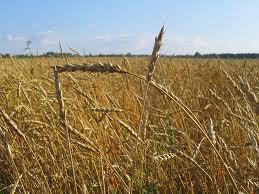 Купить Культуры зерновые продажа