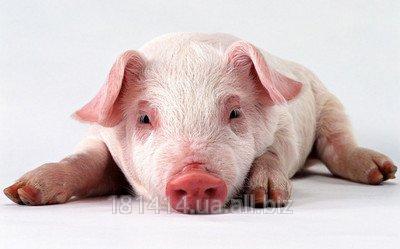 Комбикорм для свиней (СК-2)