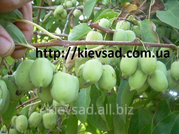 Buy Actinidia saplings