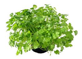Essential oil of coriander