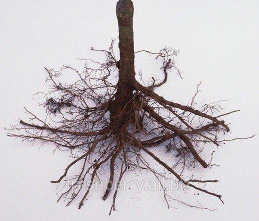 Les racines de la framboise