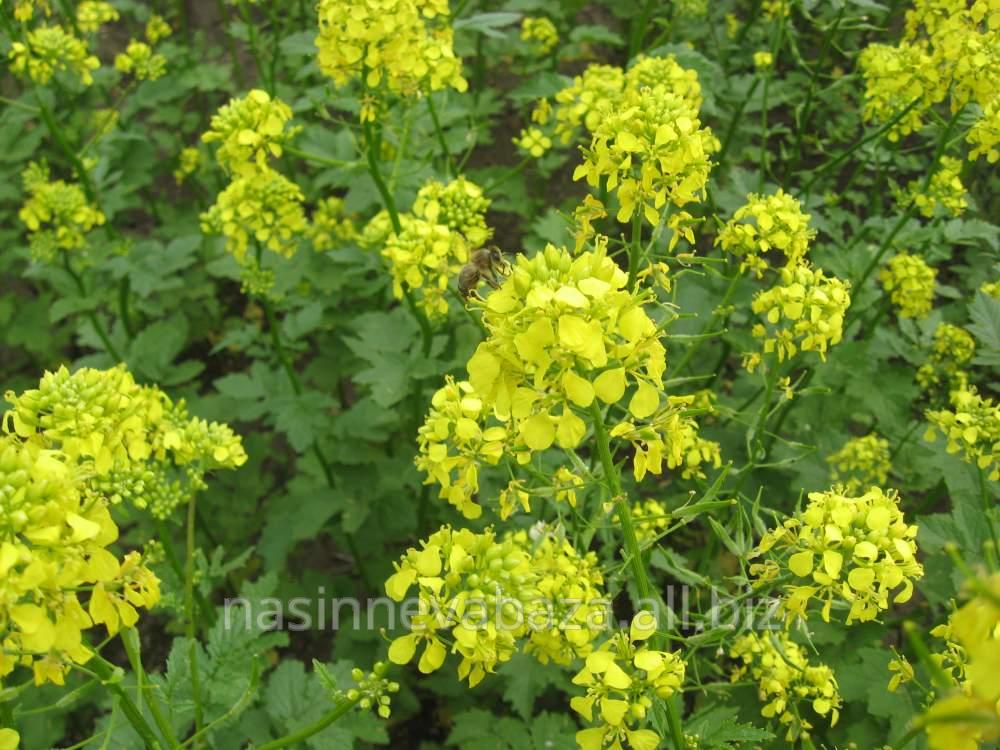 Зерна гірчиці в 406змаїл україна - від fh profsemena в каталозі allbiz! купити гірчиця