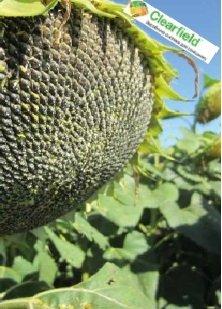 Семена подсолнечника Маисадур МАС 80.ИР, Maisadour MAS 80.IR Clearfield