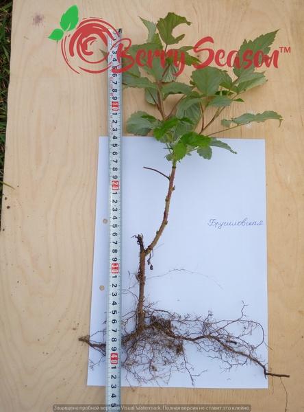 Кущи садовой малины Брусиловская