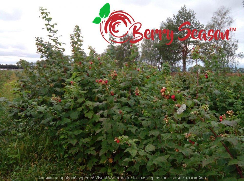 Отростки ремонтантной садовой малины Брусвяна