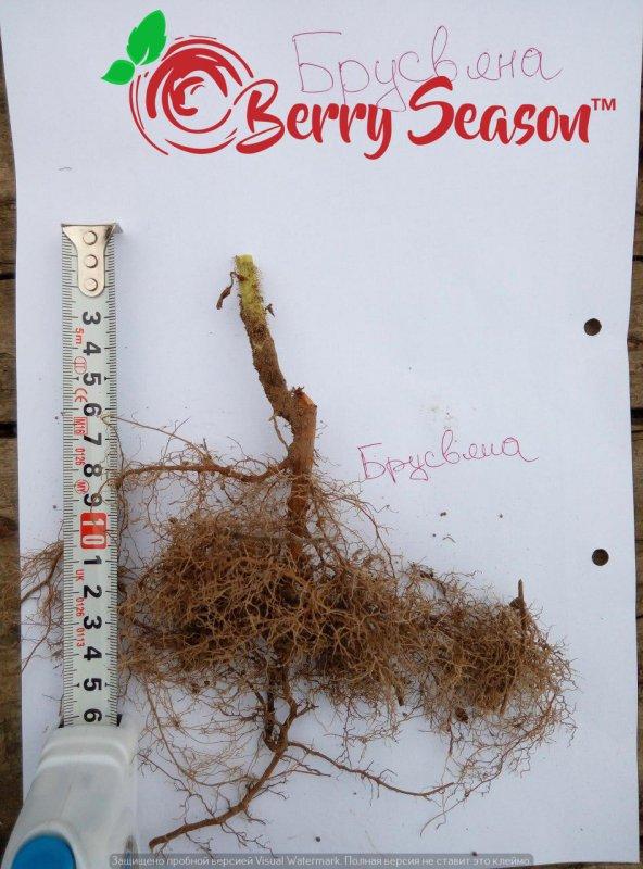 Садовые Ремонтантные кущи малины Брусвяна открытая корневая система