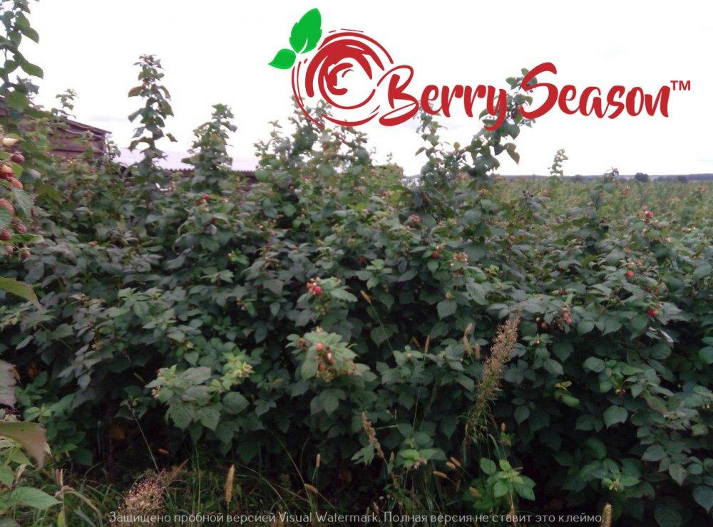 Отростки садовой Брусвяны открытая корневая система
