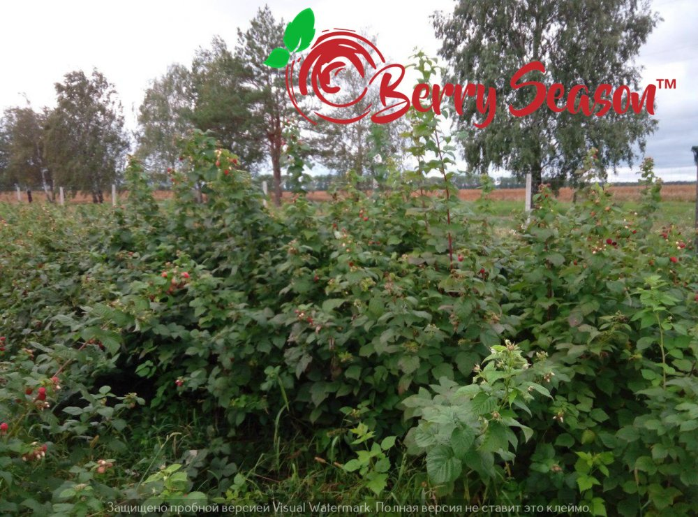 Отростки ремонтантной садовой малины Брусвяна открытая корневая система