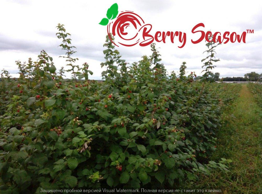 Садовые Ремонтантные саженцы малины Брусвяна открытая корневая система