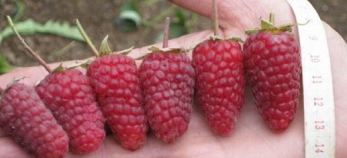Побеги садовой Рубинового Ожерелья открытая корневая система