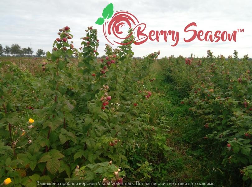 Кущи садовой малины Брусиловский Стандарт открытая корневая система